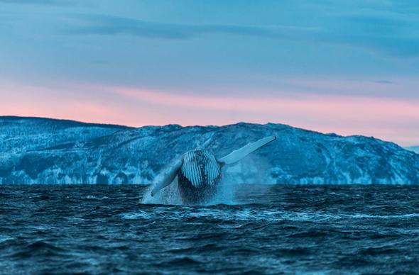 В Норвегии можно поплавать с трубкой и понаблюдать за касатками