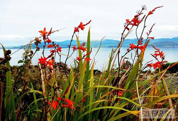 irlandiya, gladiolusi, foto