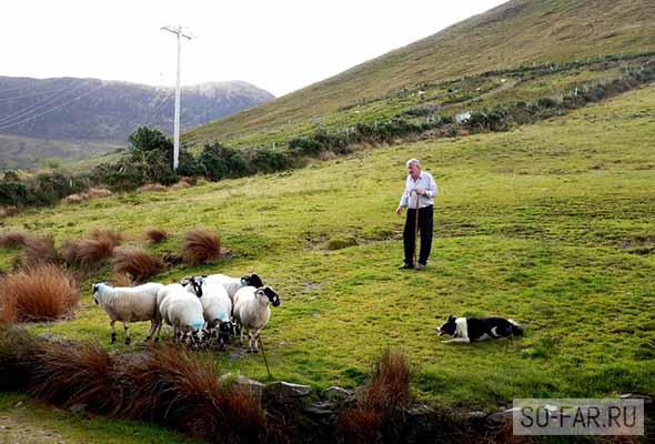 irlandia, ovci, foto