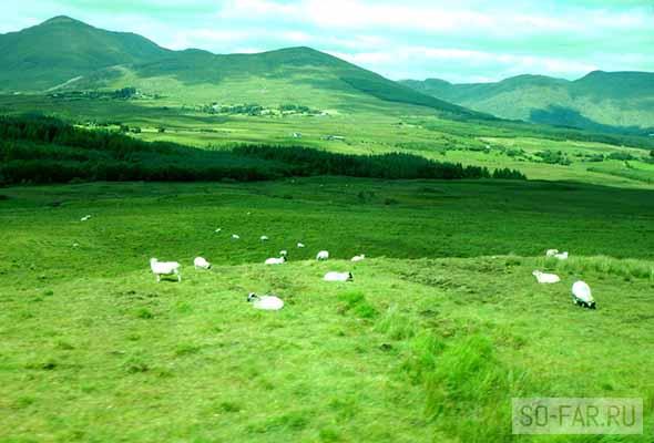 irlandiya, ovci, foto