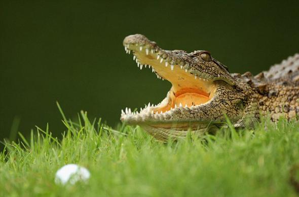 Пятиметровый аллигатор привел в ужас гольфистов во Флориде